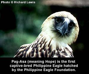 the philippine monkey-eating eagle