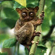 world's smallest primate, the philippine tarsier